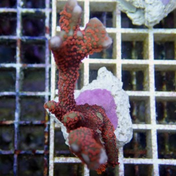 Montipora digitata polype rouge monti377