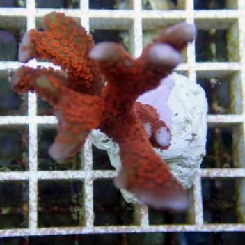 Montipora digitata polype rouge monti379