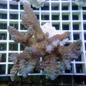 Acropora sp australie acro2451