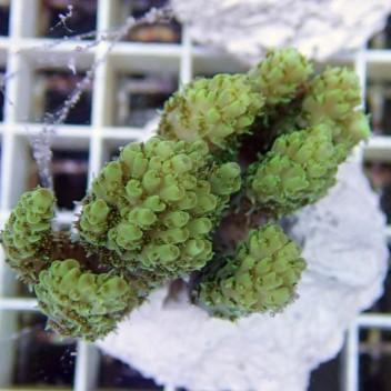 Acropora sp australie acro2455