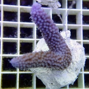 Acropora formosa australie acro2466