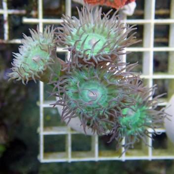 Duncanopsammia axifuga dunca32