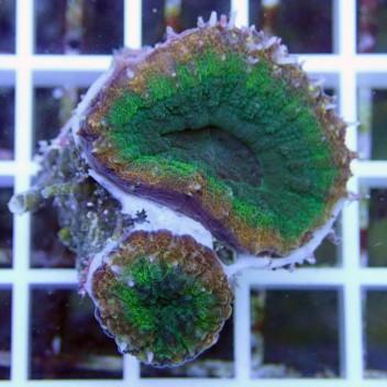 Lobophyllia sp australie lobo81