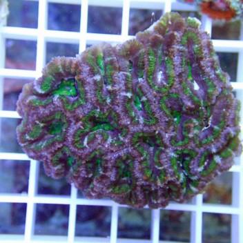 Acanthastrea lordhowensis AL552