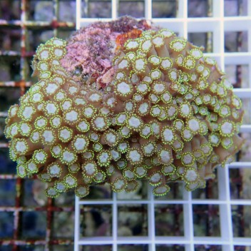 Goniopora rouge gonio152