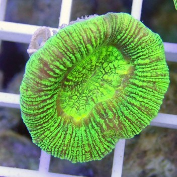 Trachyphyllia geoffroy75