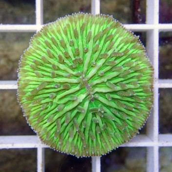 Fungia vert small Fungia39