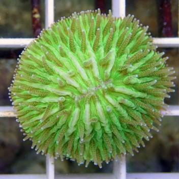 Fungia vert small Fungia41