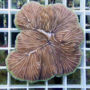 Fungia sp Fungia41 diaseris Australie