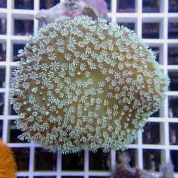 sarcophyton polype vert australie sarco51