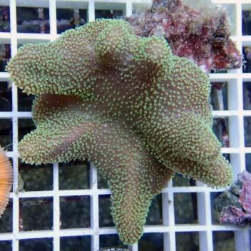 sarcophyton polype vert australie sarco54