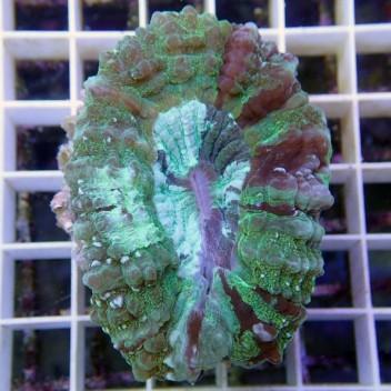 Acanthophyllia deshayesiana acantho18
