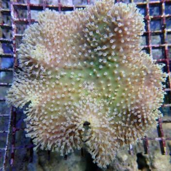 sarcophyton australie sarco56
