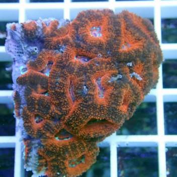 Acanthastrea lordhowensis AL567