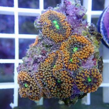 Ricordea floridae orange RF119