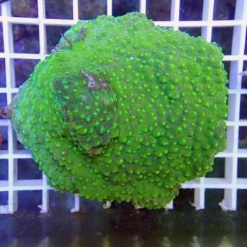 Echinopora spp EL13