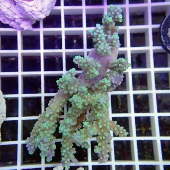 Acropora chesterfieldensis australie 2515