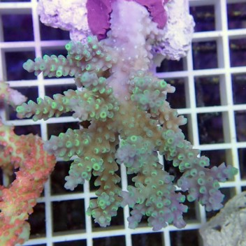Acropora chesterfieldensis australie 2565