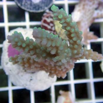 Acropora chesterfieldensis australie 2567
