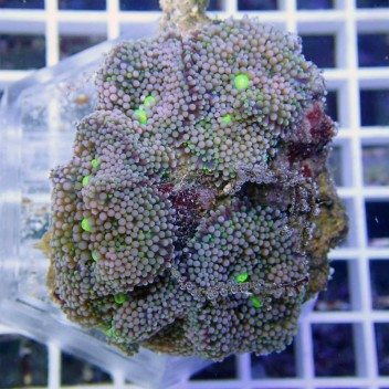 Ricordea floridae RF125