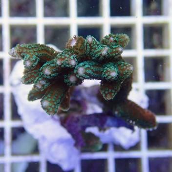 Seriatopora hystrix polype vert SH150