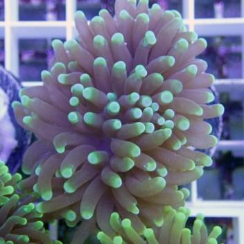 Euphyllia glabrescens euphy388