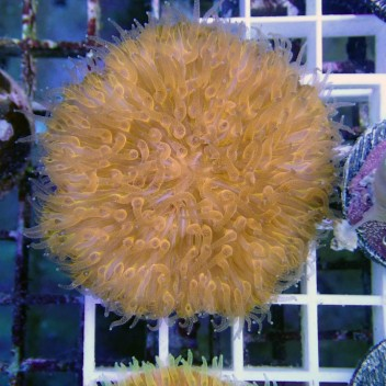 Fungia orange Fungia44