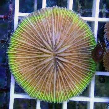 Fungia bord orange Fungia50