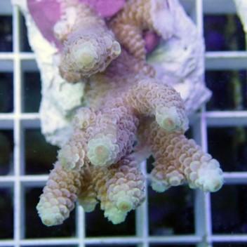 Acropora spathulata acro2651