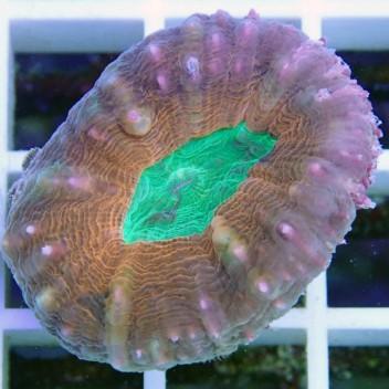 Lobophyllia rouge australie lobo93