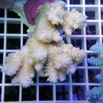 Acropora anthocersis acro7090