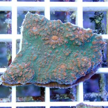 Echinophyllia echino18