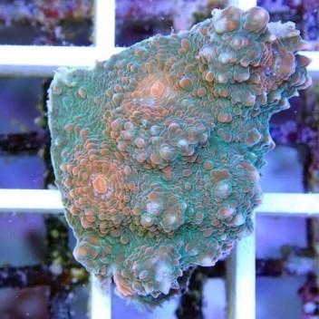 Echinophyllia echino19