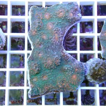 Echinophyllia echino21