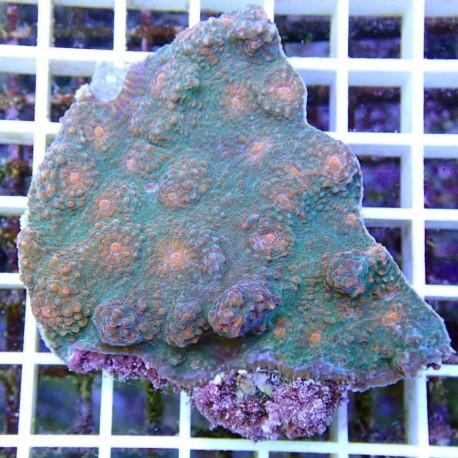 Echinophyllia echino22