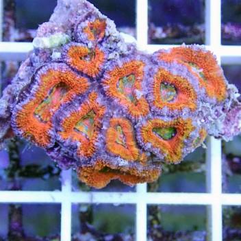 Acanthastrea lordhowensis ultra AL617