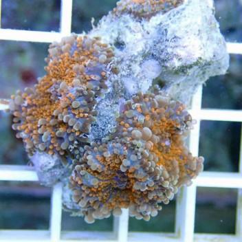 Ricordea yuma orange ry128