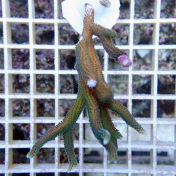 Seriatopora hystrix polype vert SH162