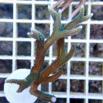 Seriatopora hystrix polype vert SH163