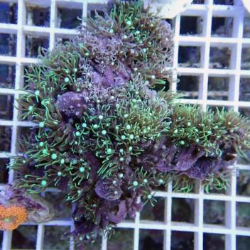 Pachyclavularia vert pachy40