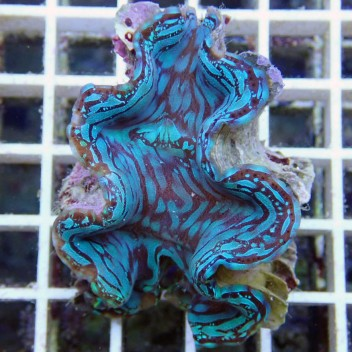 Tridacna squamosa bleu ultra tridac69