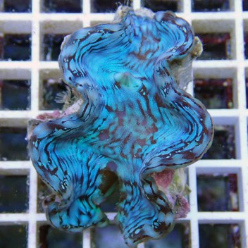 Tridacna squamosa bleu 6/8 cm tridac69