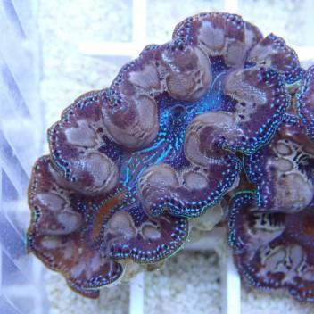 Tridacna squamosa bleu 6/8 cm tridac96