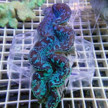 Tridacna maxima ultra 12/15 cm tridac103