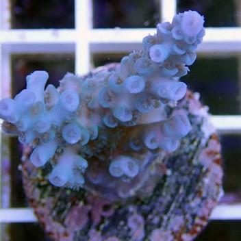Acropora batunai acro7128