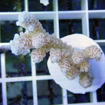 Acropora selago acro7255