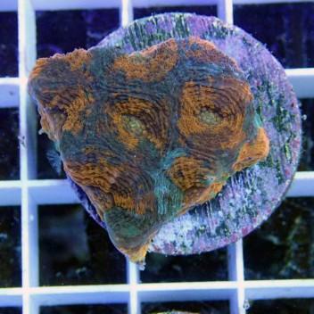 Acanthastrea echinata orange et bleu echinata28