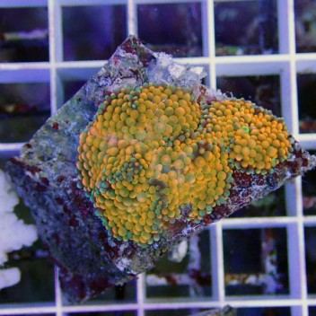 Ricordea floridae RF135