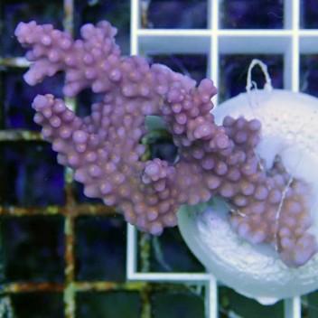 Acropora sp violet polype jaune acro7303