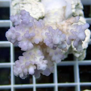 Acropora sp blanc mauve acro7327